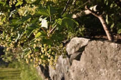 Closeup of a blooming blackcurrant busch Ribes nigrum. Closeup of a blooming blackcurrant busch Ribes nigrum and a stonewall in background, picture from the Royalty Free Stock Images