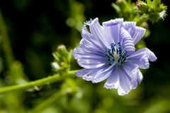 Closeup of blooming blue common chicory or cichorium intybus with natural green background. Shallow depth of field. Stock Photos
