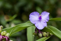 Closeup of blooming blue garden tradescantia spiderworts flower with natural green background. Shallow depth of field. royalty free stock photography