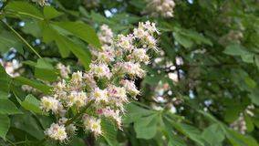 Closeup Blooming Bud On The Branch White Pink Flowers Of The Chestnut Tree stock footage