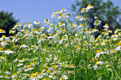 Closeup of blooming camomile (Matricaria chamomilla) Stock Images