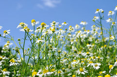 Closeup of blooming camomile (Matricaria chamomilla) Royalty Free Stock Photography