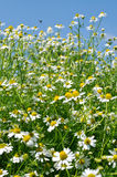 Closeup of blooming camomile (Matricaria chamomilla) Stock Photography