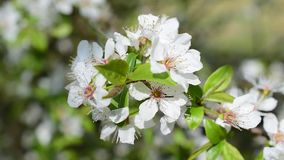 Closeup of blooming cherry tree twig. Beautiful white cherry tree flowers and green leaves blown by breeze in spring. Cerasus avium stock video footage