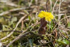 Closeup of a blooming coltsfoot Royalty Free Stock Photos