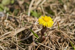 Closeup of a blooming coltsfoot Stock Image