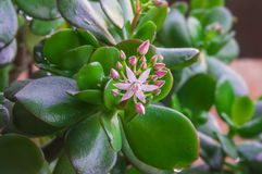 Closeup of blooming Crassula Ovata in early spring. Stock Image