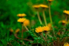 Blooming dandelions royalty free stock image