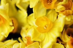 Closeup of blooming jonquil flower royalty free stock images