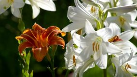 Closeup blooming lilies stock footage