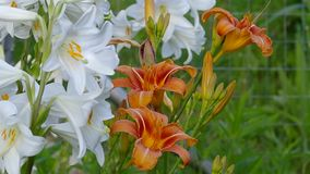 Closeup blooming lilies stock video footage