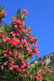 Closeup of blooming oleander branch Stock Images
