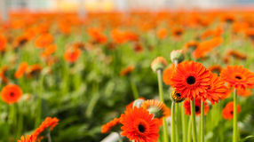 Closeup of blooming orange Gerbera flowers Stock Photos