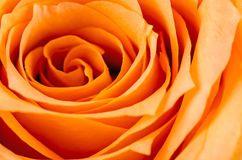 Closeup of a blooming orange and yellow rose. Royalty Free Stock Photo