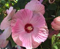 Closeup of blooming pink mallow hibiscus flower. Closeup showing detail on pink petals of large blooming mallow hibiscus flower Stock Image