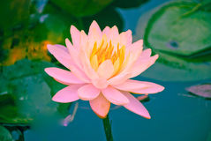 Closeup of blooming pink water lily flowers or lotus flower in the pond Royalty Free Stock Photography