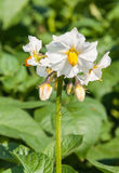 Closeup of a blooming potato plants Stock Images
