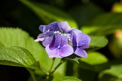 Closeup of blooming purple hortensia flower hydrangea serrata. Selective focus. Shallow depth of field. Royalty Free Stock Photo