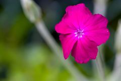 Closeup of blooming purple rose campion lychnis coronaria with natural green background and copyspace. Shallow depth of field. Selective focus Stock Photography