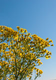 Closeup of blooming Ragwort in sunlight Royalty Free Stock Photo