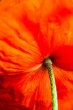 Closeup of the blooming red poppy flower Royalty Free Stock Images
