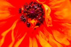 Closeup of the blooming red poppy flower Stock Image