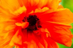 Closeup of the blooming red poppy flower Stock Photo