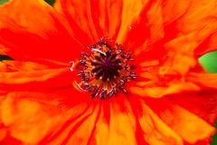 Closeup of the blooming red poppy flower Royalty Free Stock Photography