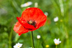 Closeup of the blooming red poppy flower Stock Photography
