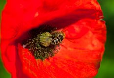 Closeup of the blooming red poppy flower with a bee Stock Photo