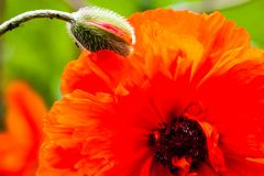 Closeup of the blooming red poppy flower and poppy bud Stock Photo