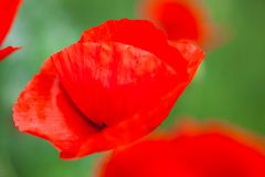 Closeup of the blooming red poppy flowers Royalty Free Stock Images