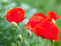 Closeup of the blooming red poppy flowers and poppy buds Royalty Free Stock Photos