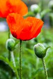 Closeup of the blooming red poppy flowers and poppy buds Royalty Free Stock Photography