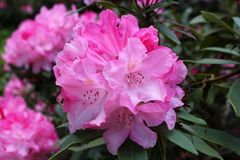 Closeup blooming rhododendron in the spring garden. Season of flowering rhododendrons. Spring background. Closeup blooming rhododendron in the spring garden stock photo