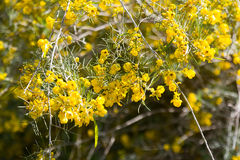 Closeup of blooming Silver Cassia Stock Photography