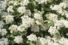 Closeup of a Blooming Spirea Bush in a Garden #1 Stock Photography