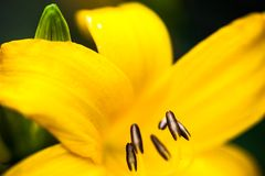 Closeup of the blooming yellow lily flower Royalty Free Stock Photo