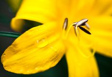 Closeup of the blooming yellow lily flower Stock Photos