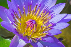 Closeup Blossom Lotus. Closeup Shot of Purple Lotus in Details of Petals and Pollens Royalty Free Stock Photo