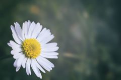 Beautiful daisy with copy space stock photography