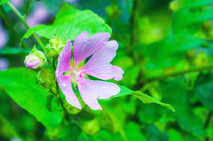 Closeup blossom view of Lavatera thuringiaca flower. Royalty Free Stock Image