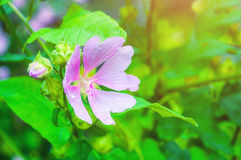 Closeup blossom view of Lavatera thuringiaca flower. Shallow depth of field. Royalty Free Stock Photos