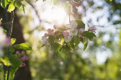 Closeup blossoming apple tree with pink flowers in a garden Royalty Free Stock Images