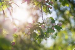 Closeup blossoming apple tree with pink flowers in a garden Royalty Free Stock Image