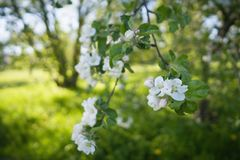 Closeup blossoming apple tree with pink flowers in a garden Royalty Free Stock Photo