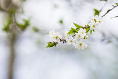 Closeup of blossoming cherry apple trees on a sunny spring day Stock Image