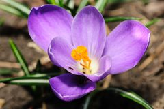 Closeup of blossoming crocus Royalty Free Stock Image