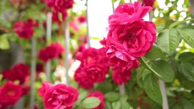 Closeup of a blossoming pink rose in a fairy-tale garden. Dolly shot. Shallow DOF stock footage