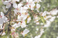 Closeup blossoming plum tree buds copy space Royalty Free Stock Photo